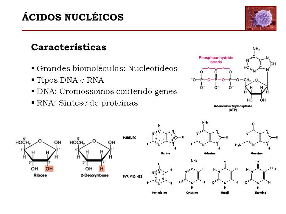 Características Grandes biomoléculas: Nucleotídeos Tipos DNA e RNA DNA: Cromossomos contendo genes RNA: Síntese de proteínas ÁCIDOS NUCLÉICOS