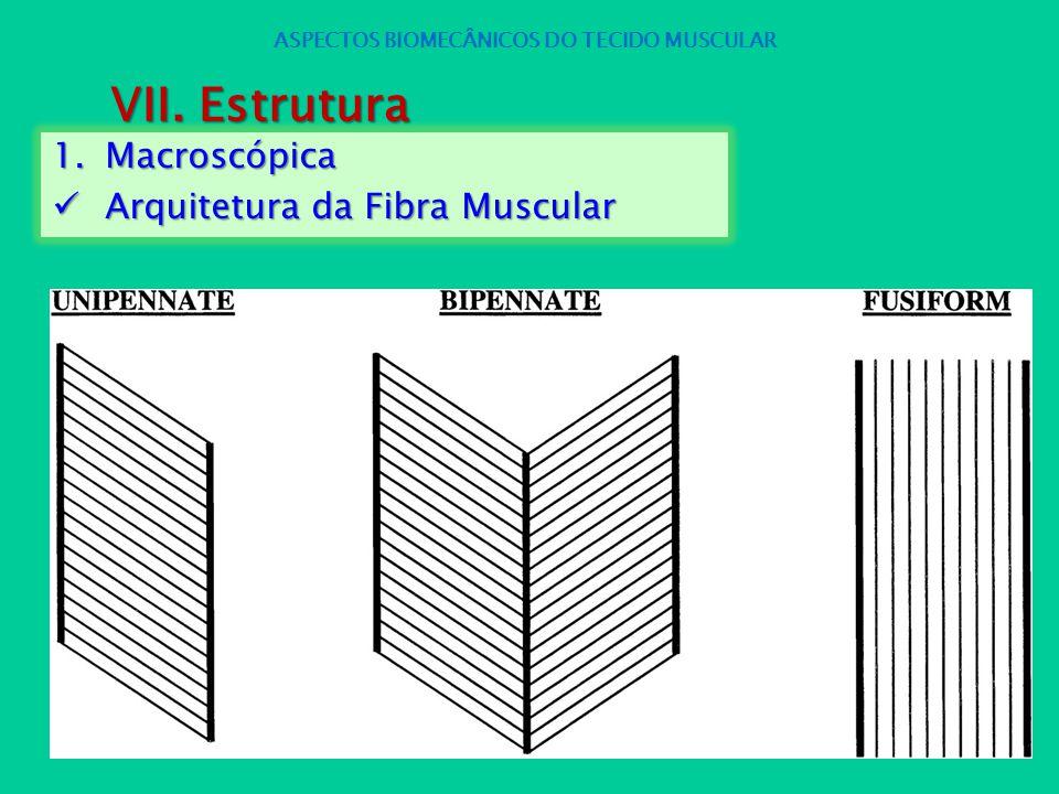 1.Macroscópica Arquitetura da Fibra Muscular Arquitetura da Fibra Muscular ASPECTOS BIOMECÂNICOS DO TECIDO MUSCULAR VII. Estrutura