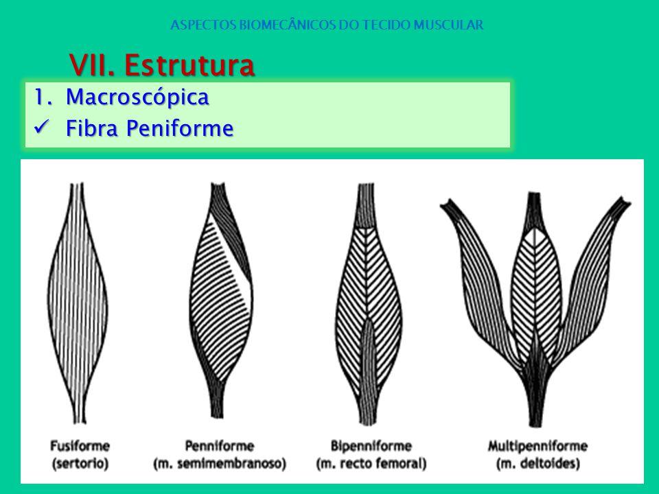 1.Macroscópica Fibra Peniforme Fibra Peniforme ASPECTOS BIOMECÂNICOS DO TECIDO MUSCULAR VII. Estrutura