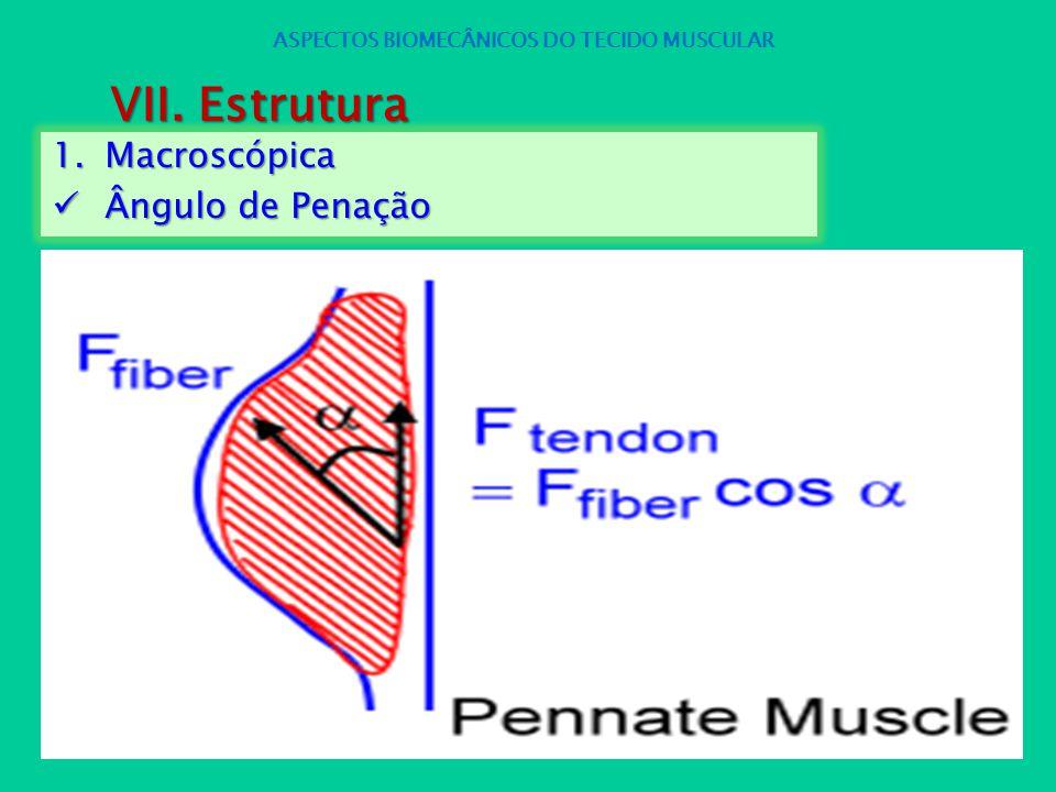 1.Macroscópica Ângulo de Penação Ângulo de Penação ASPECTOS BIOMECÂNICOS DO TECIDO MUSCULAR VII. Estrutura