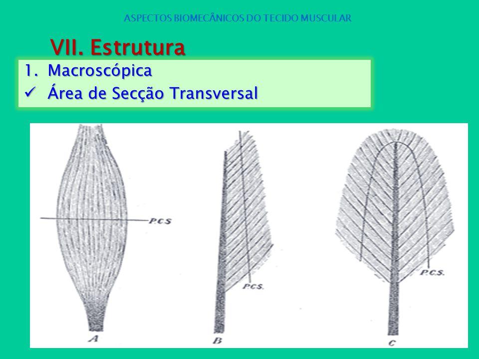 1.Macroscópica Área de Secção Transversal Área de Secção Transversal ASPECTOS BIOMECÂNICOS DO TECIDO MUSCULAR VII. Estrutura