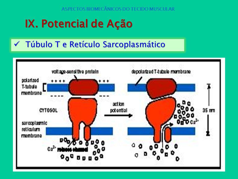 Túbulo T e Retículo Sarcoplasmático Túbulo T e Retículo Sarcoplasmático ASPECTOS BIOMECÂNICOS DO TECIDO MUSCULAR IX. Potencial de Ação