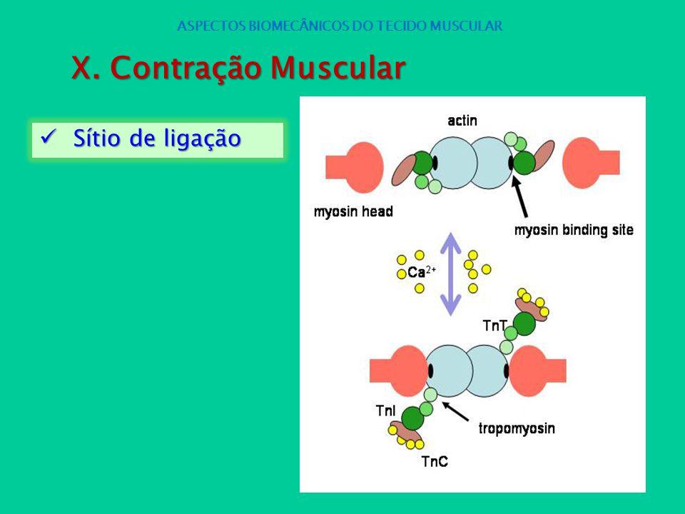 Sítio de ligação Sítio de ligação ASPECTOS BIOMECÂNICOS DO TECIDO MUSCULAR X. Contração Muscular