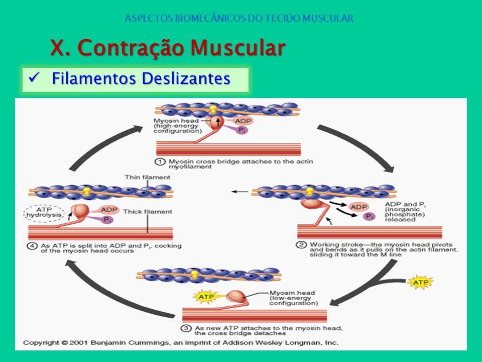 Filamentos Deslizantes Filamentos Deslizantes ASPECTOS BIOMECÂNICOS DO TECIDO MUSCULAR X. Contração Muscular