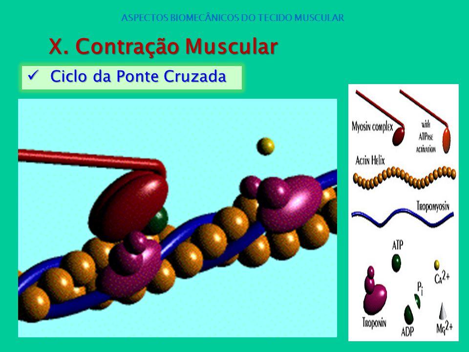 Ciclo da Ponte Cruzada Ciclo da Ponte Cruzada ASPECTOS BIOMECÂNICOS DO TECIDO MUSCULAR X. Contração Muscular
