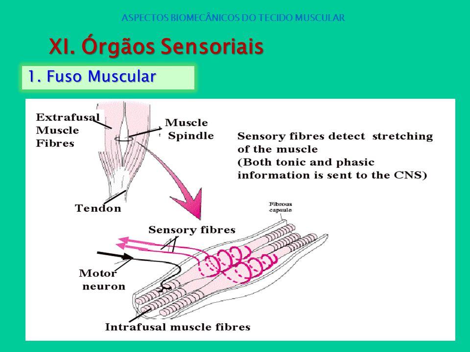 1. Fuso Muscular ASPECTOS BIOMECÂNICOS DO TECIDO MUSCULAR XI. Órgãos Sensoriais