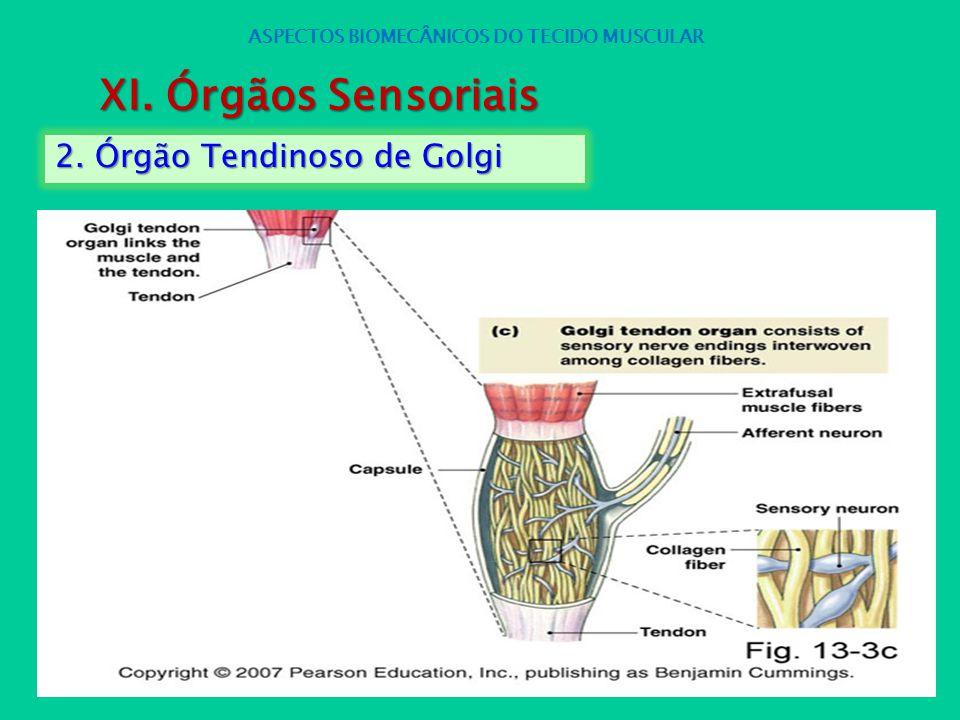 2. Órgão Tendinoso de Golgi ASPECTOS BIOMECÂNICOS DO TECIDO MUSCULAR XI. Órgãos Sensoriais