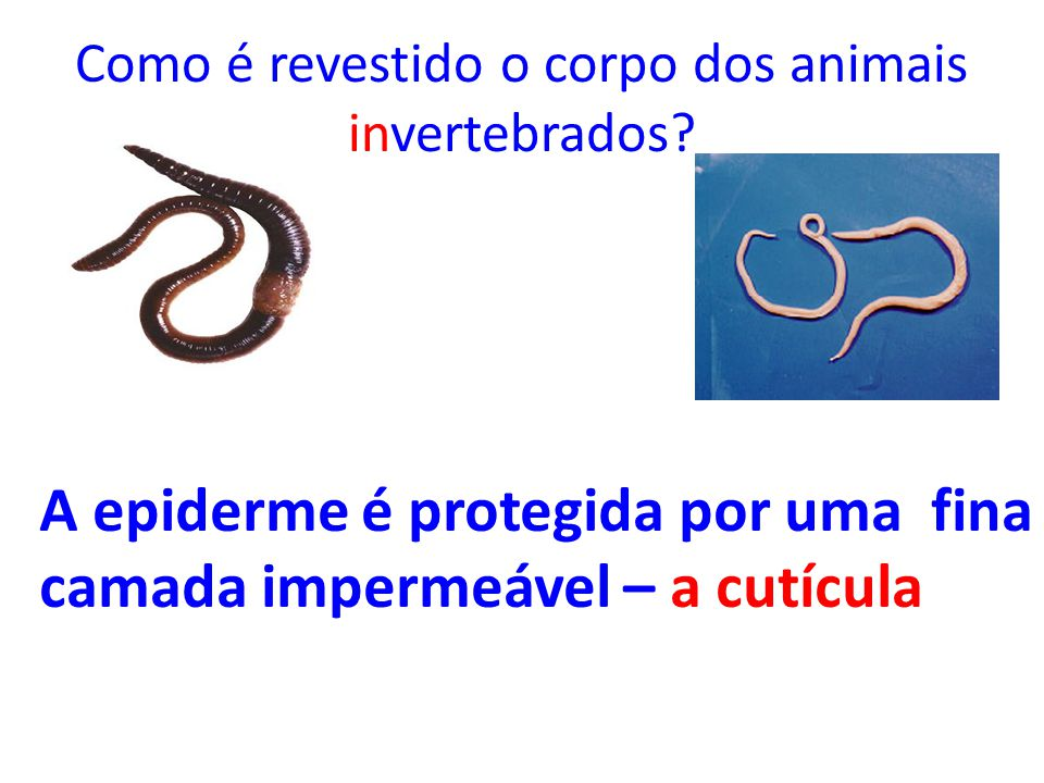 Como é revestido o corpo dos animais invertebrados? A epiderme é protegida por uma fina camada impermeável – a cutícula