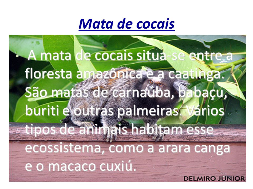 Mata de cocais A mata de cocais situa-se entre a floresta amazônica e a caatinga. São matas de carnaúba, babaçu, buriti e outras palmeiras. Vários tip