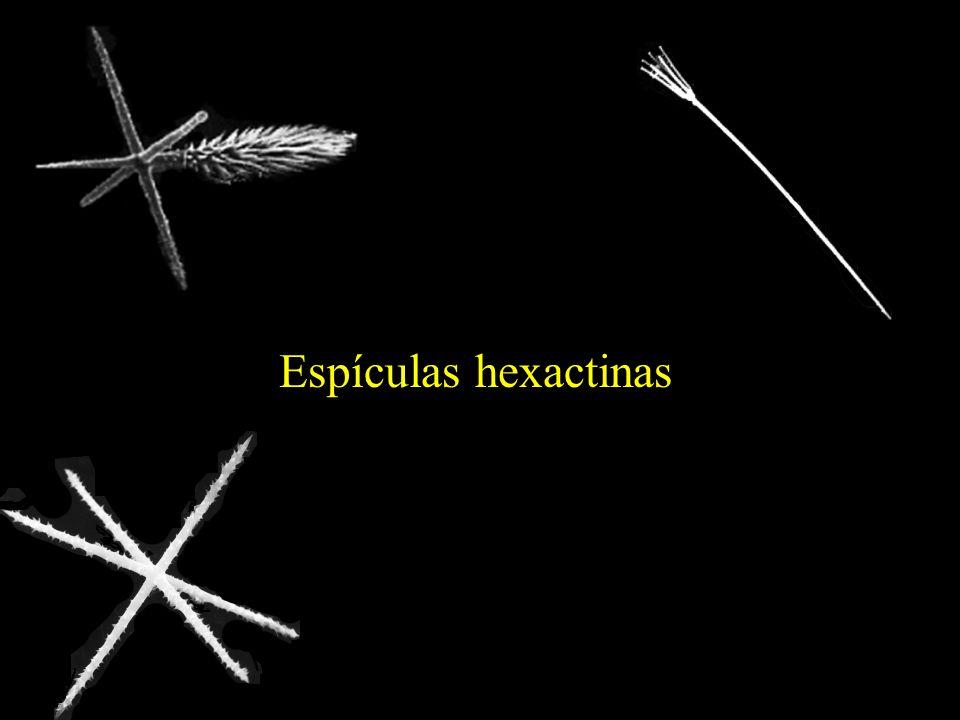 Classe Hyalospongiae