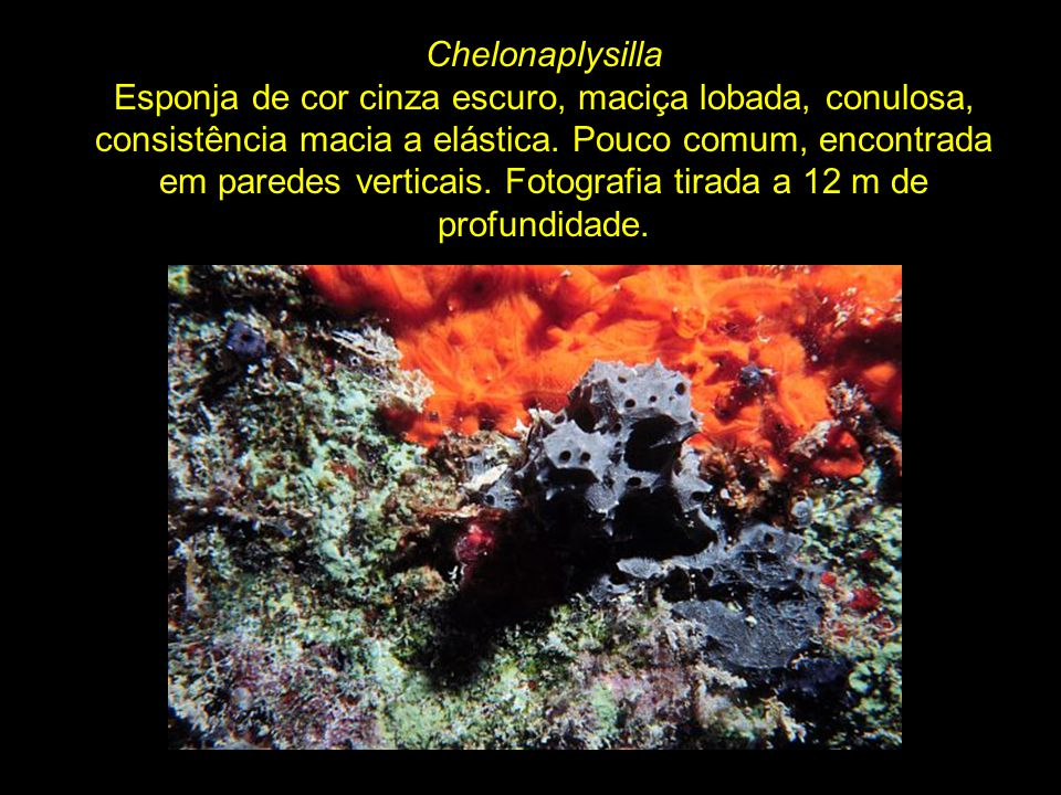 Cliona Esponja perfurante de cor laranja (aqui crescendo no coral Siderastrea stellata).