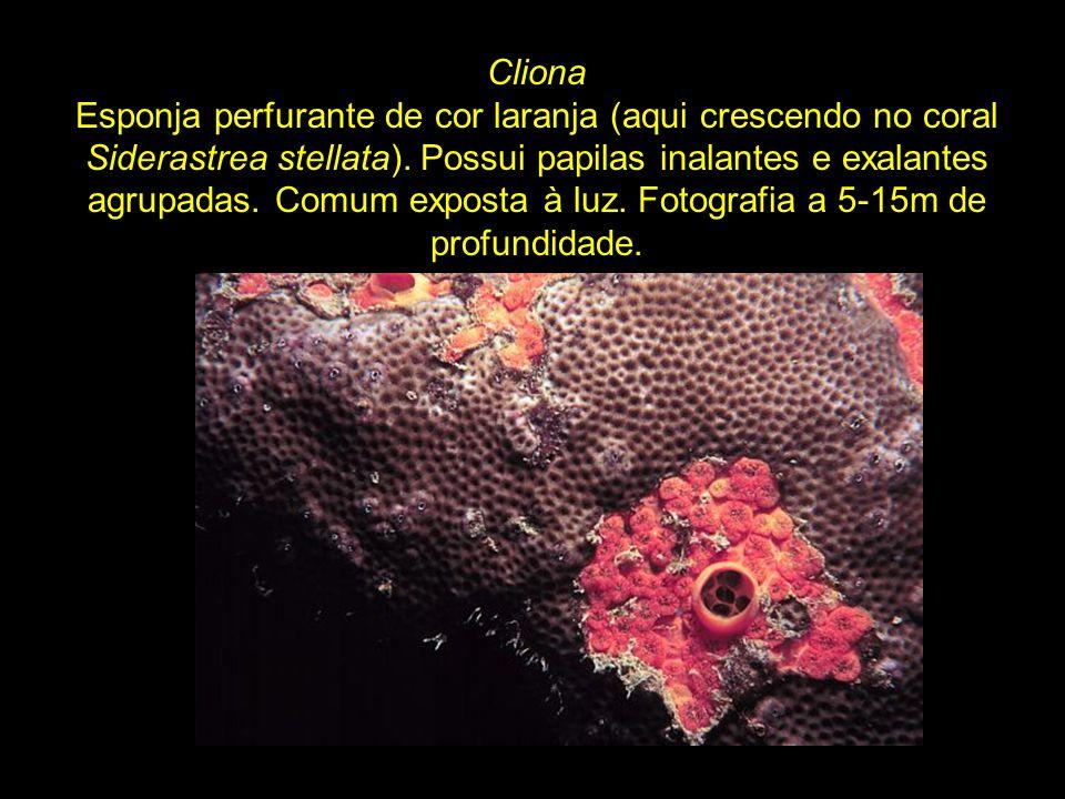 Dictyonella sp.Esponja vermelho-vivo, forma incrustante a tubular e consistência macia.