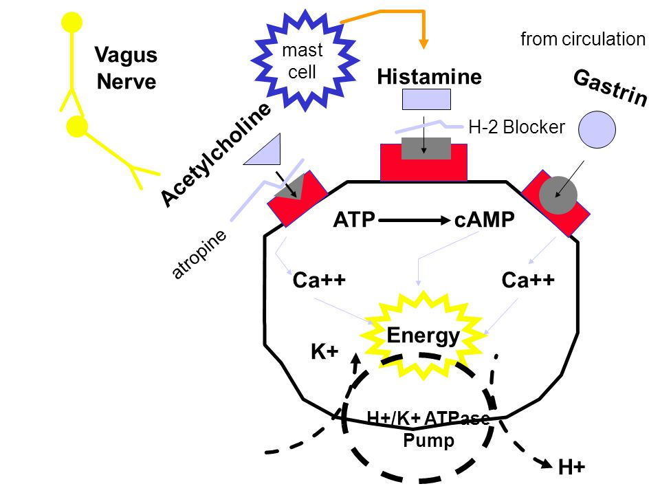 Acetylcholine Histamine Gastrin atropine H-2 Blocker ATP cAMP Ca++ Energy H+/K+ ATPase Pump H+ K+ mast cell Vagus Nerve from circulation
