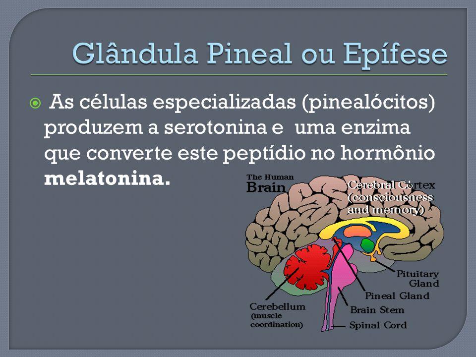 As células especializadas (pinealócitos) produzem a serotonina e uma enzima que converte este peptídio no hormônio melatonina.