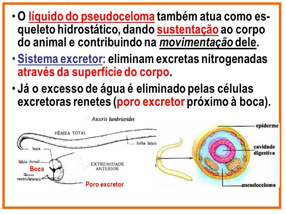 O líquido do pseudoceloma também atua como es- queleto hidrostático, dando sustentação ao corpo do animal e contribuindo na movimentação dele. Sistema