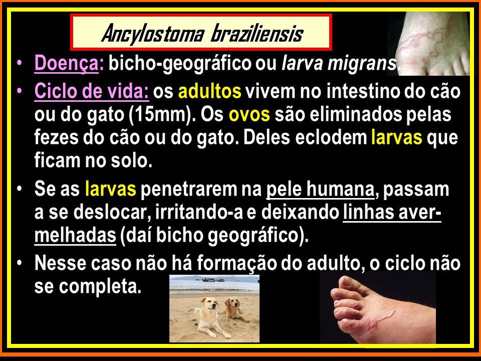 Ancylostoma braziliensis Doença: bicho-geográfico ou larva migrans. Ciclo de vida: os adultos vivem no intestino do cão ou do gato (15mm). Os ovos são