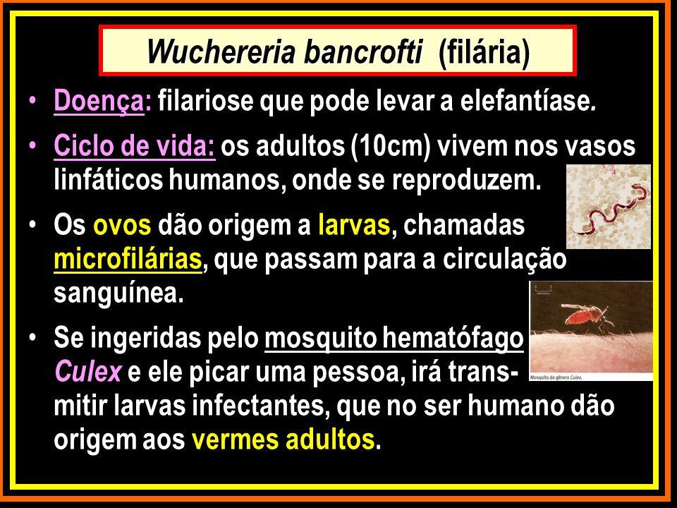 Wuchereria bancrofti (filária) Doença: filariose que pode levar a elefantíase. Ciclo de vida: os adultos (10cm) vivem nos vasos linfáticos humanos, on