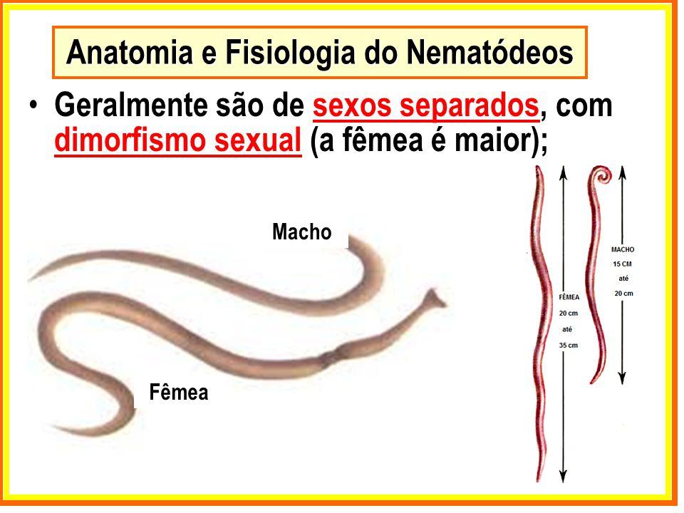 Anatomia e Fisiologia do Nematódeos Geralmente são de sexos separados, com dimorfismo sexual (a fêmea é maior); Macho Fêmea