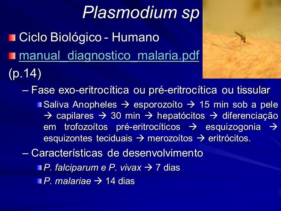 Plasmodium sp Ciclo Biológico - Humano manual_diagnostico_malaria.pdf (p.14) –Fase exo-eritrocítica ou pré-eritrocítica ou tissular Saliva Anopheles e