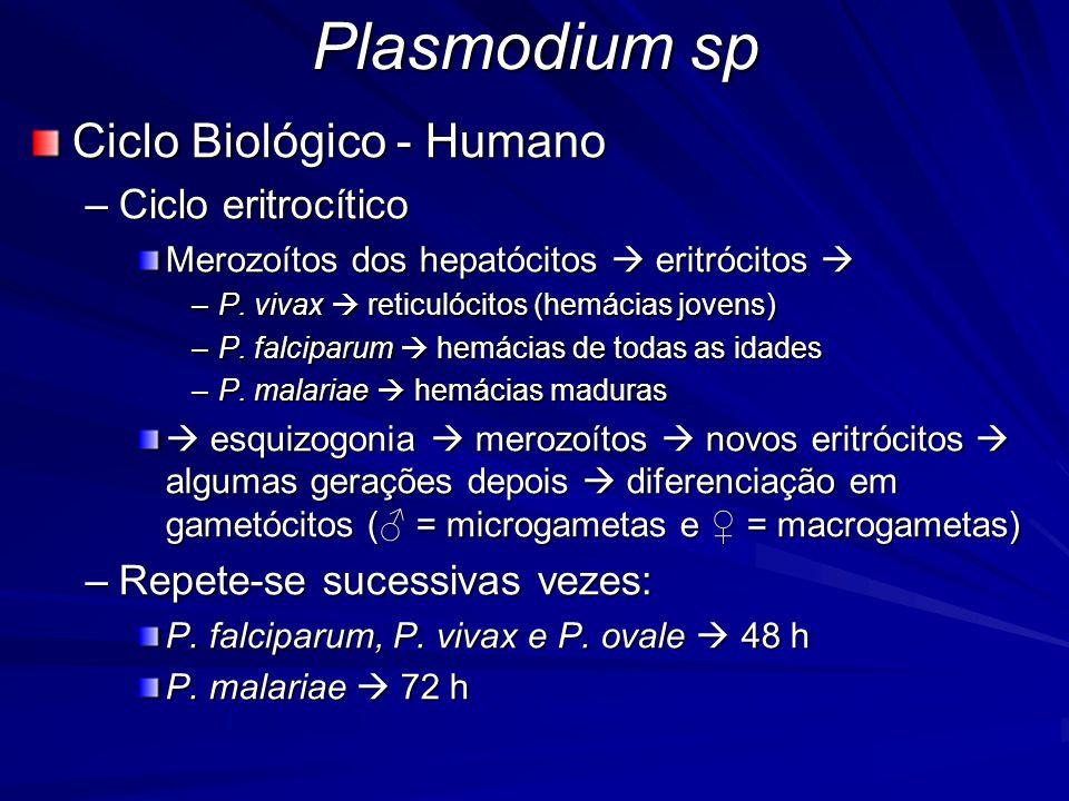 Plasmodium sp Ciclo Biológico - Humano –Ciclo eritrocítico Merozoítos dos hepatócitos eritrócitos Merozoítos dos hepatócitos eritrócitos –P. vivax ret