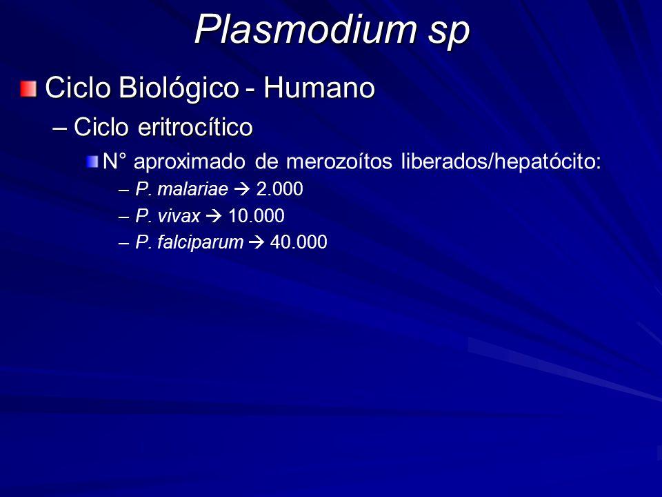 Plasmodium sp Ciclo Biológico - Humano –Ciclo eritrocítico N° aproximado de merozoítos liberados/hepatócito: – –P. malariae 2.000 – –P. vivax 10.000 –