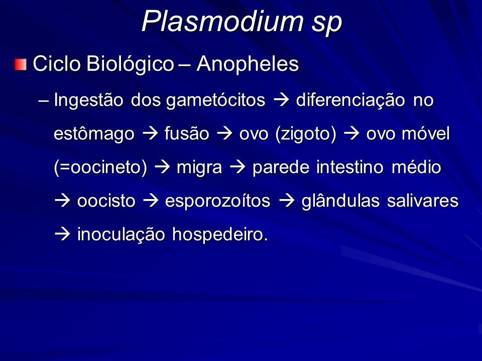 Plasmodium sp Ciclo Biológico – Anopheles –Ingestão dos gametócitos diferenciação no estômago fusão ovo (zigoto) ovo móvel (=oocineto) migra parede in