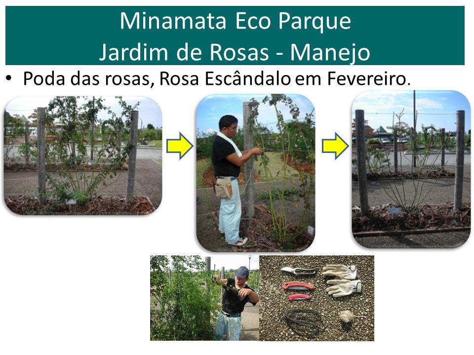 Poda das rosas, Rosa Escândalo em Fevereiro. Minamata Eco Parque Jardim de Rosas - Manejo