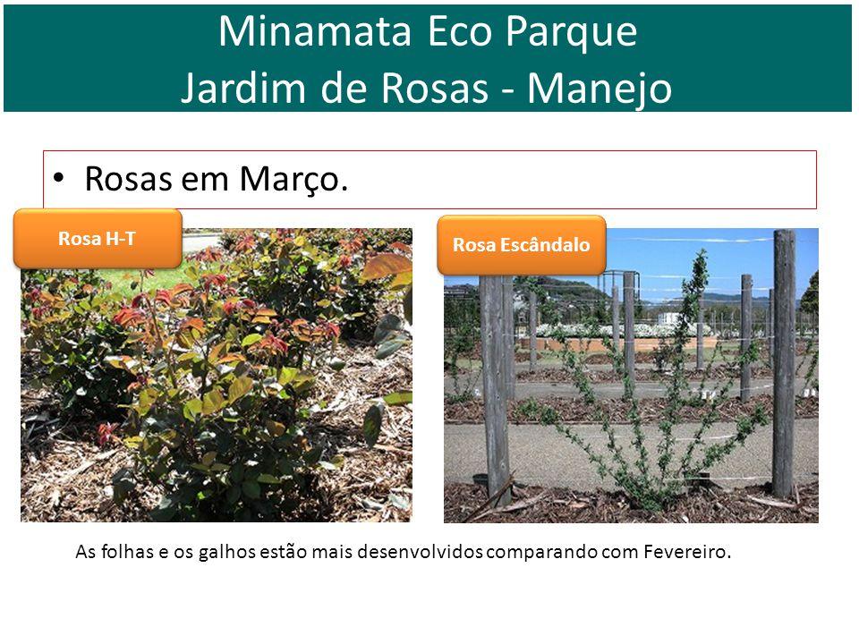 Rosas em Março. Rosa H-T Rosa Escândalo As folhas e os galhos estão mais desenvolvidos comparando com Fevereiro. Minamata Eco Parque Jardim de Rosas -