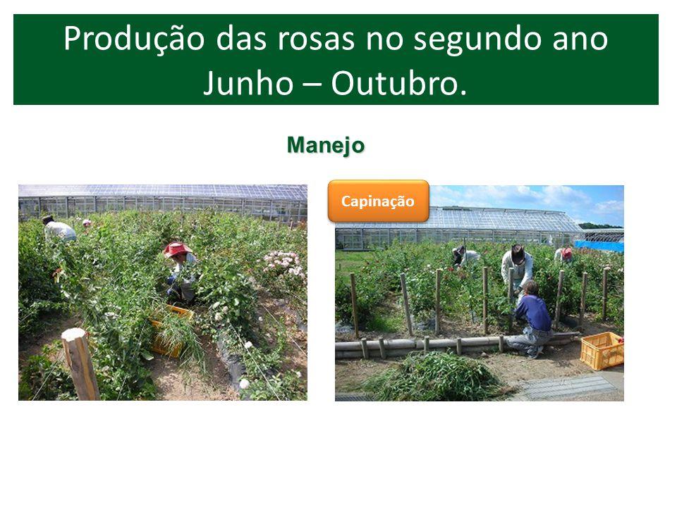 Capinação 6-10 2 Produção das rosas no segundo ano Junho – Outubro. Manejo