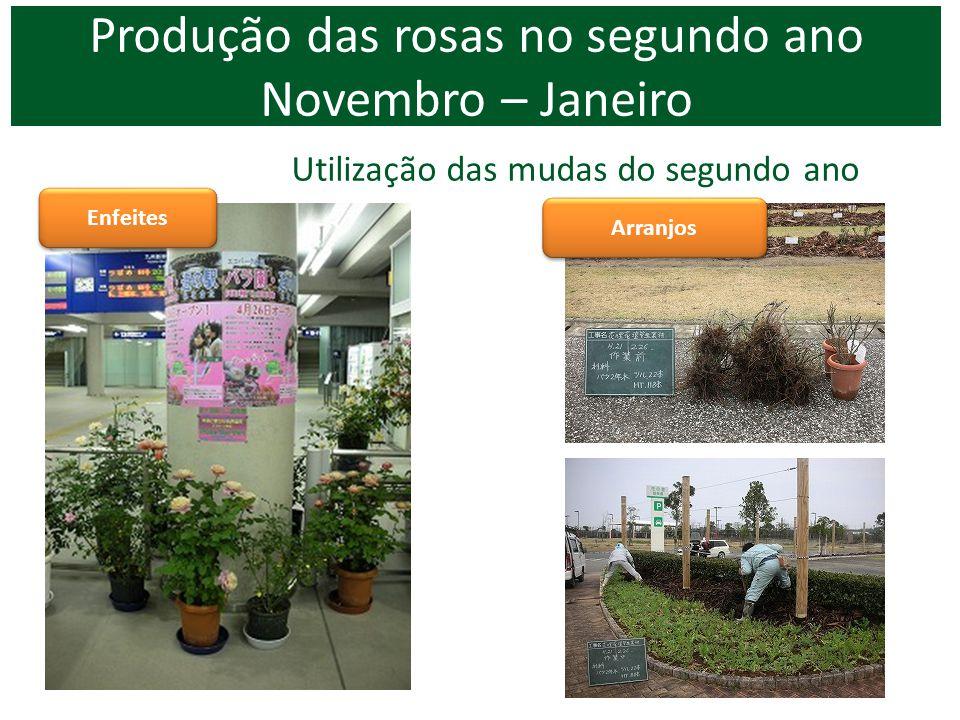 Utilização das mudas do segundo ano Enfeites Arranjos Produção das rosas no segundo ano Novembro – Janeiro