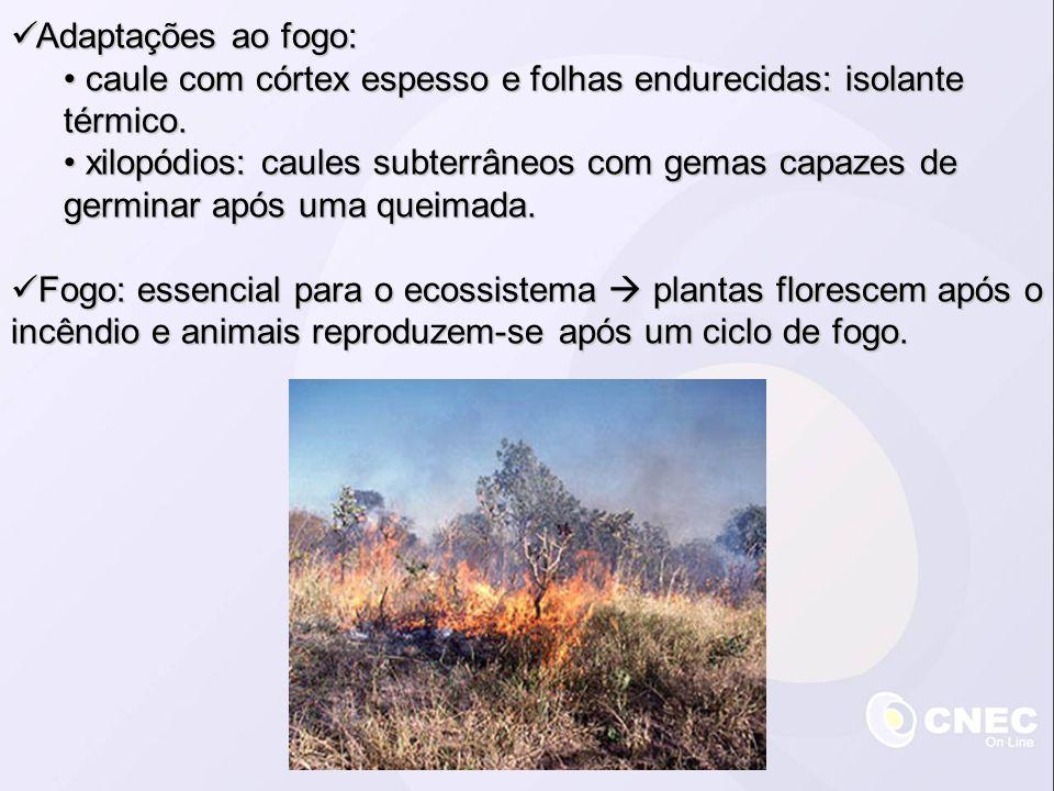 Adaptações ao fogo: Adaptações ao fogo: caule com córtex espesso e folhas endurecidas: isolante térmico. caule com córtex espesso e folhas endurecidas