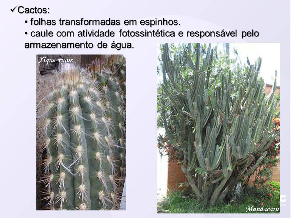 Cactos: Cactos: folhas transformadas em espinhos. folhas transformadas em espinhos. caule com atividade fotossintética e responsável pelo armazenament