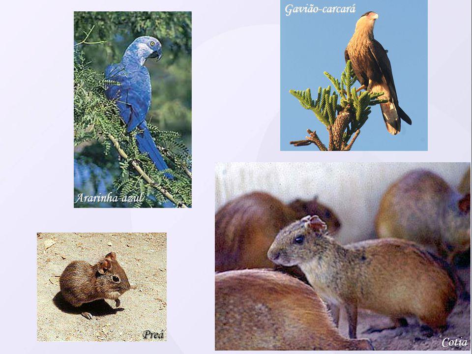 Cotia Preá Gavião-carcará Ararinha-azul