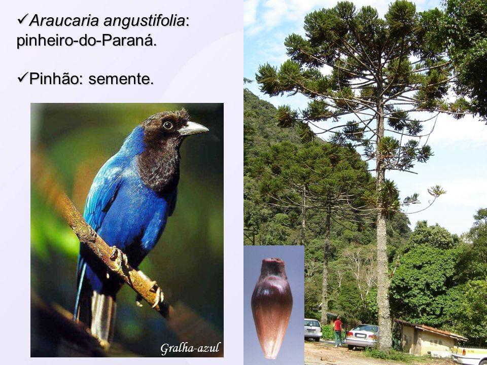 Araucaria angustifolia: pinheiro-do-Paraná. Araucaria angustifolia: pinheiro-do-Paraná. Pinhão: semente. Pinhão: semente. Gralha-azul