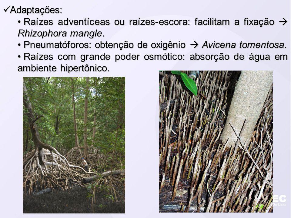 Adaptações: Adaptações: Raízes adventíceas ou raízes-escora: facilitam a fixação Rhizophora mangle. Raízes adventíceas ou raízes-escora: facilitam a f