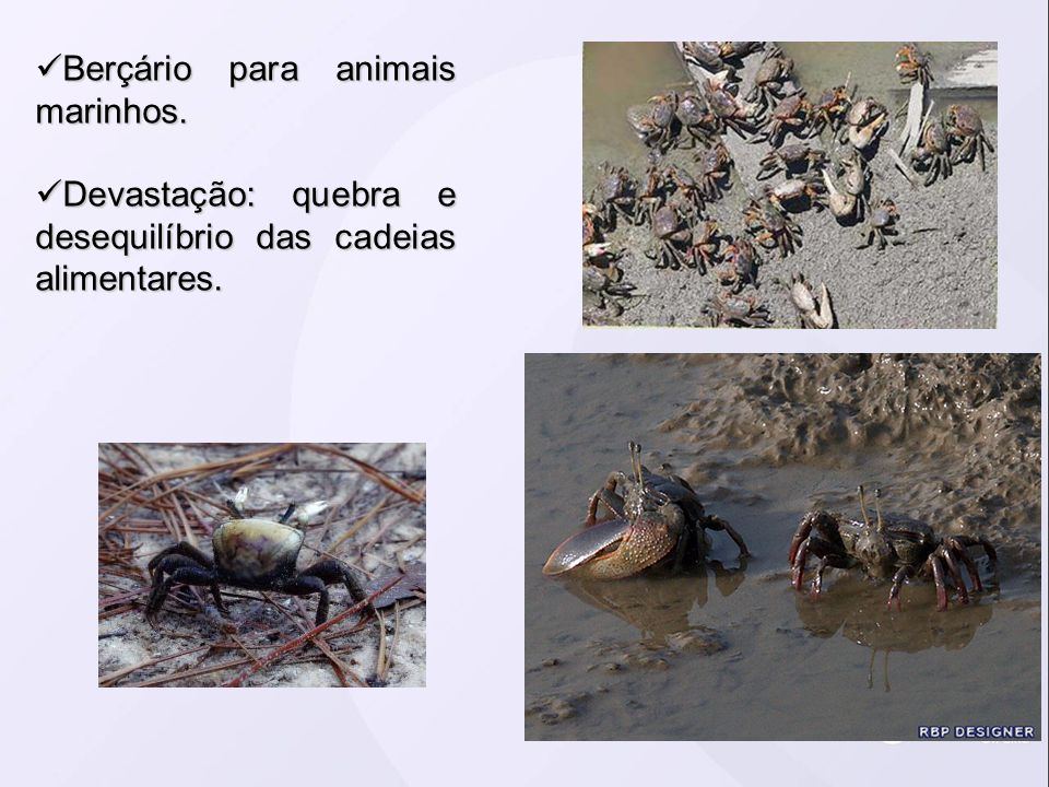 Berçário para animais marinhos. Berçário para animais marinhos. Devastação: quebra e desequilíbrio das cadeias alimentares. Devastação: quebra e deseq