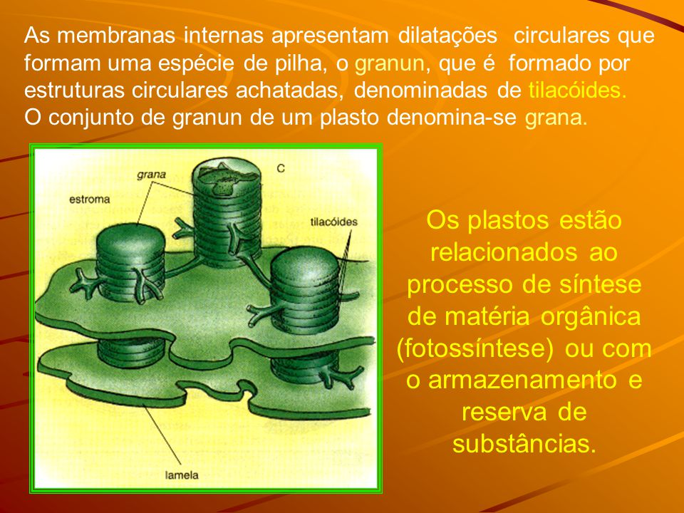 As membranas internas apresentam dilatações circulares que formam uma espécie de pilha, o granun, que é formado por estruturas circulares achatadas, denominadas de tilacóides.