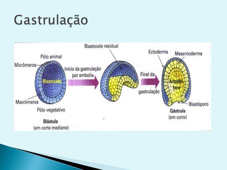O blastóporo pode dar origem a boca ou ao ânus, e em função do destino do blastóporo os animais são classificados em: Protostômios: o blastóporo dará origem à boca, e em alguns casos à boca e o ânus.