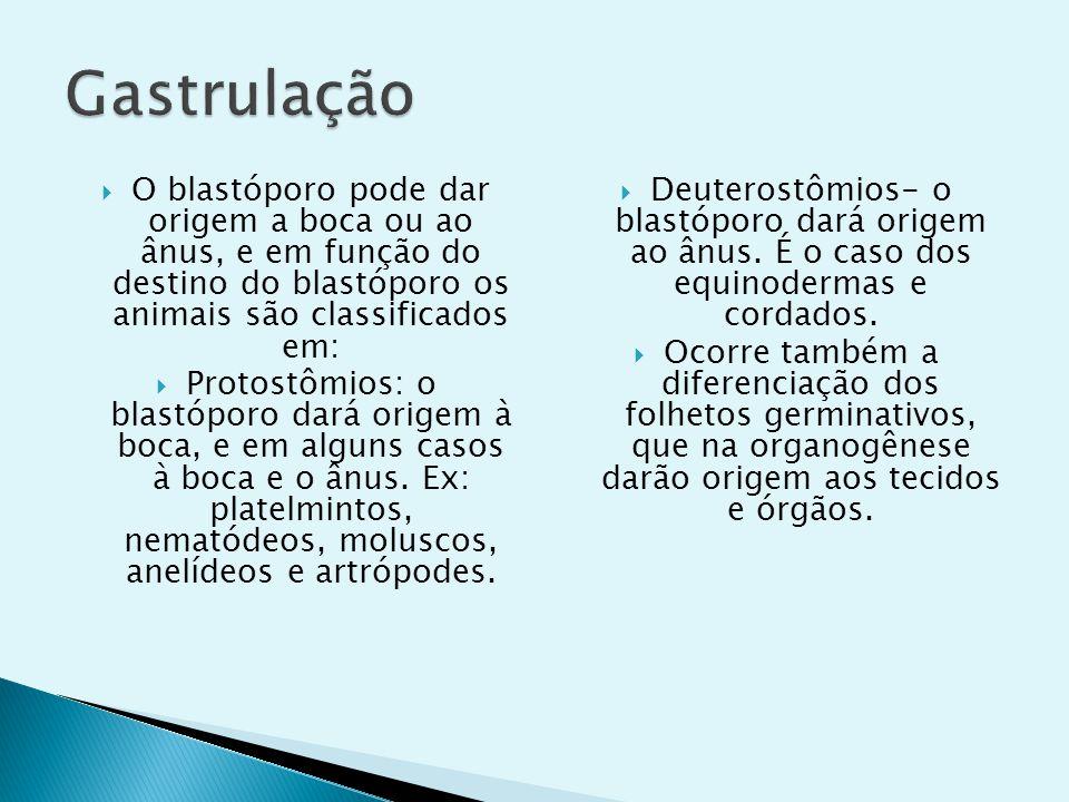 O blastóporo pode dar origem a boca ou ao ânus, e em função do destino do blastóporo os animais são classificados em: Protostômios: o blastóporo dará