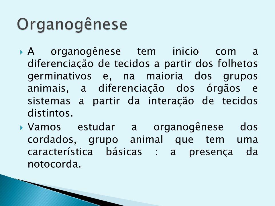 A organogênese tem inicio com a diferenciação de tecidos a partir dos folhetos germinativos e, na maioria dos grupos animais, a diferenciação dos órgã