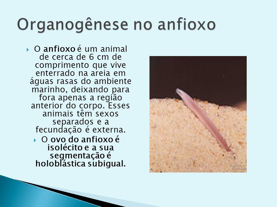 O anfioxo é um animal de cerca de 6 cm de comprimento que vive enterrado na areia em águas rasas do ambiente marinho, deixando para fora apenas a regi