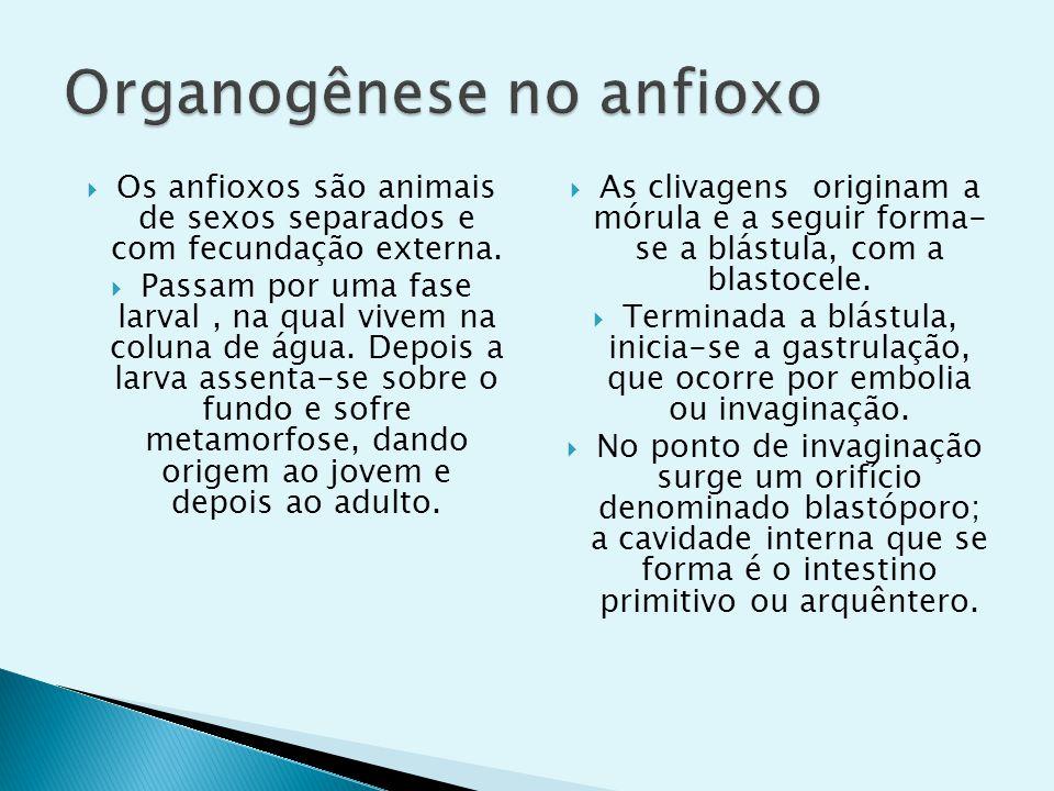 Os anfioxos são animais de sexos separados e com fecundação externa. Passam por uma fase larval, na qual vivem na coluna de água. Depois a larva assen