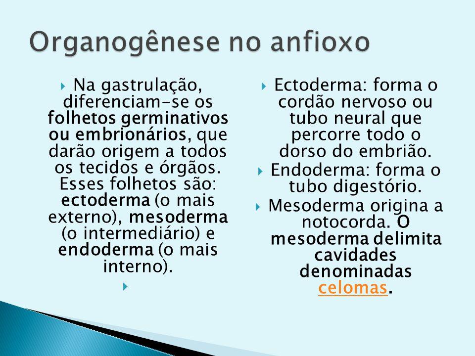 Na gastrulação, diferenciam-se os folhetos germinativos ou embrionários, que darão origem a todos os tecidos e órgãos. Esses folhetos são: ectoderma (