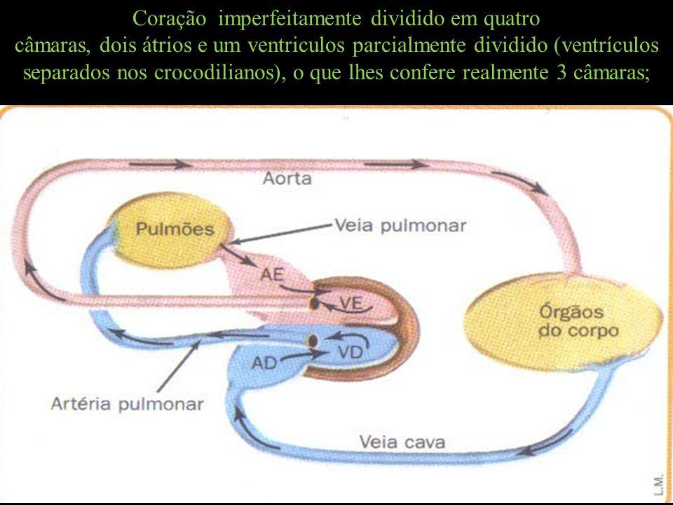 Coração imperfeitamente dividido em quatro câmaras, dois átrios e um ventriculos parcialmente dividido (ventrículos separados nos crocodilianos), o qu