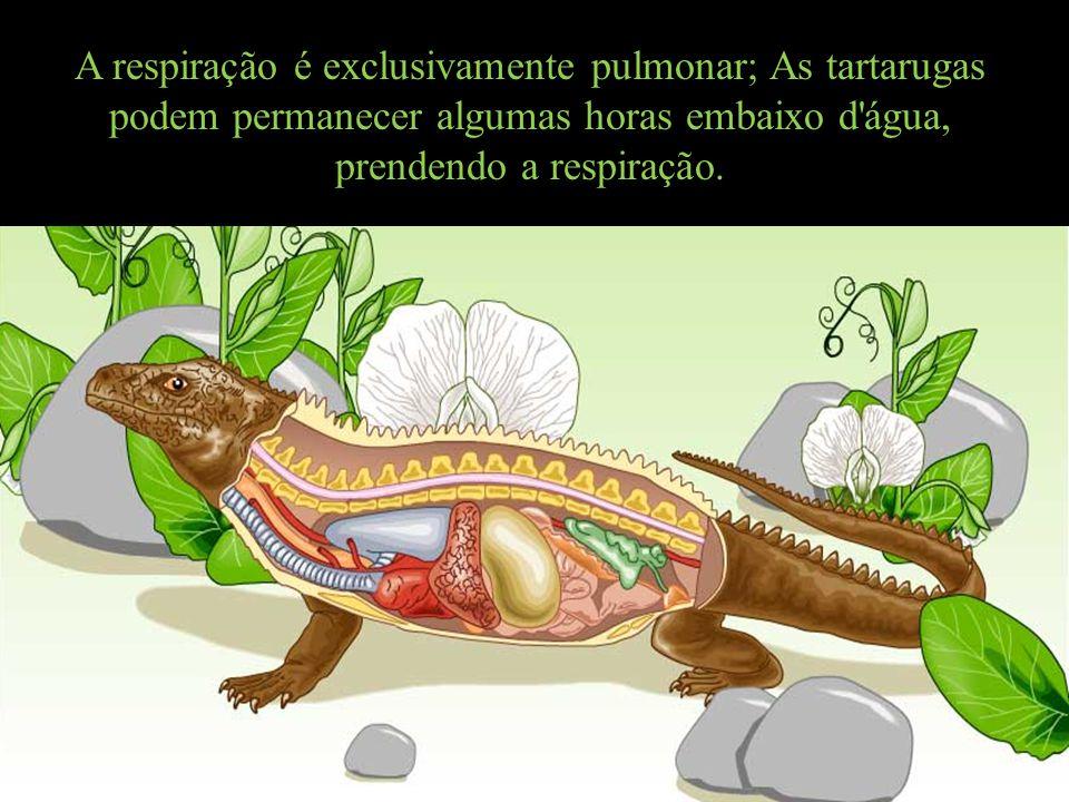 A respiração é exclusivamente pulmonar; As tartarugas podem permanecer algumas horas embaixo d'água, prendendo a respiração.