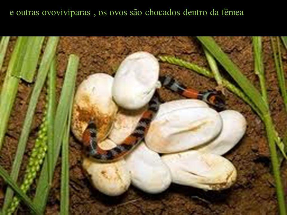 e outras ovovivíparas, os ovos são chocados dentro da fêmea