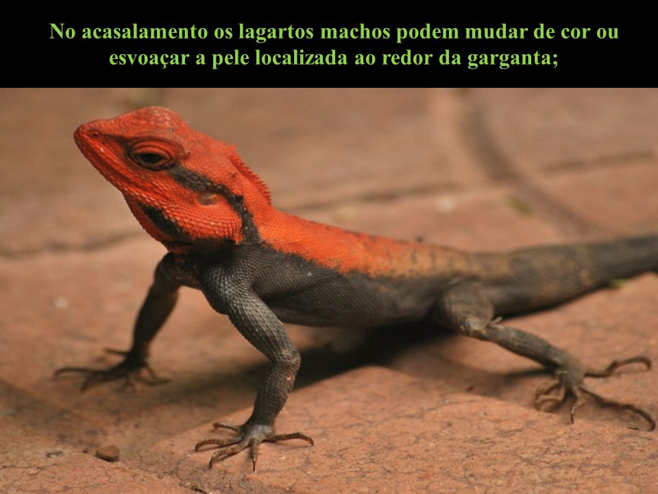 No acasalamento os lagartos machos podem mudar de cor ou esvoaçar a pele localizada ao redor da garganta;