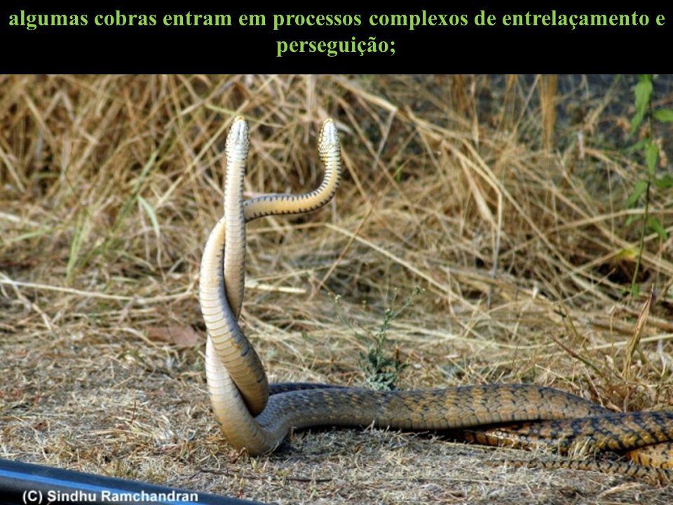 algumas cobras entram em processos complexos de entrelaçamento e perseguição;