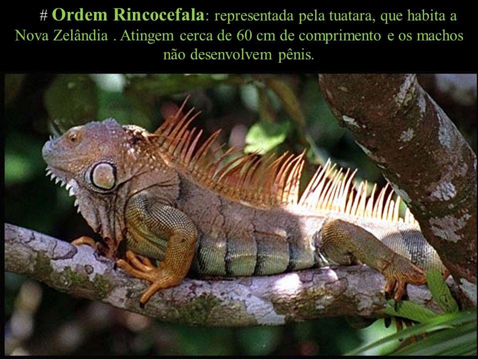# Ordem Rincocefala : representada pela tuatara, que habita a Nova Zelândia. Atingem cerca de 60 cm de comprimento e os machos não desenvolvem pênis.