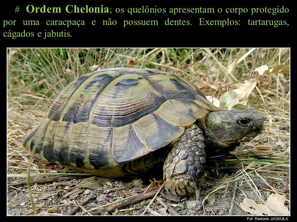 # Ordem Chelonia ; os quelônios apresentam o corpo protegido por uma caracpaça e não possuem dentes. Exemplos: tartarugas, cágados e jabutis.